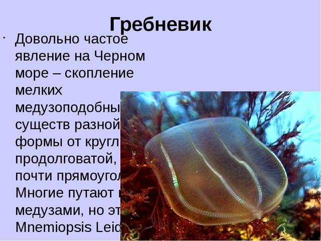 Гребневик Довольно частое явление на Черном море – скопление мелких медузопод...
