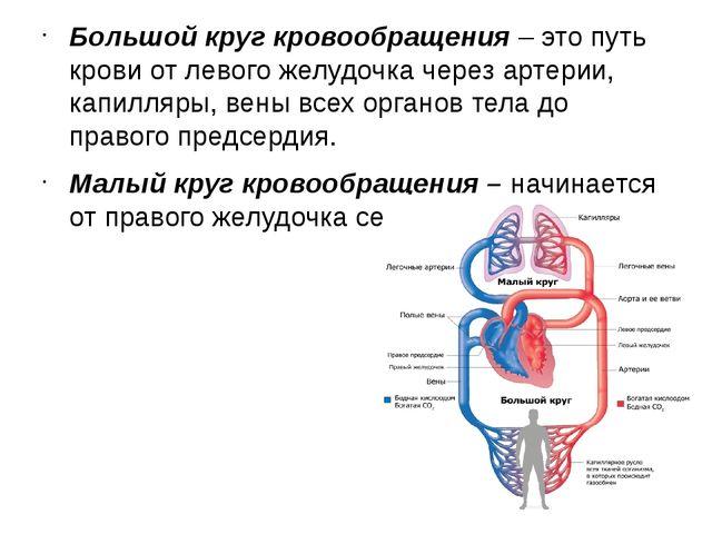 Большой круг кровообращения– это путь крови от левого желудочка через артери...