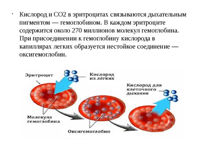 Кислород и СO2в эритроцитах связываются дыхательным пигментом — гемоглобином...