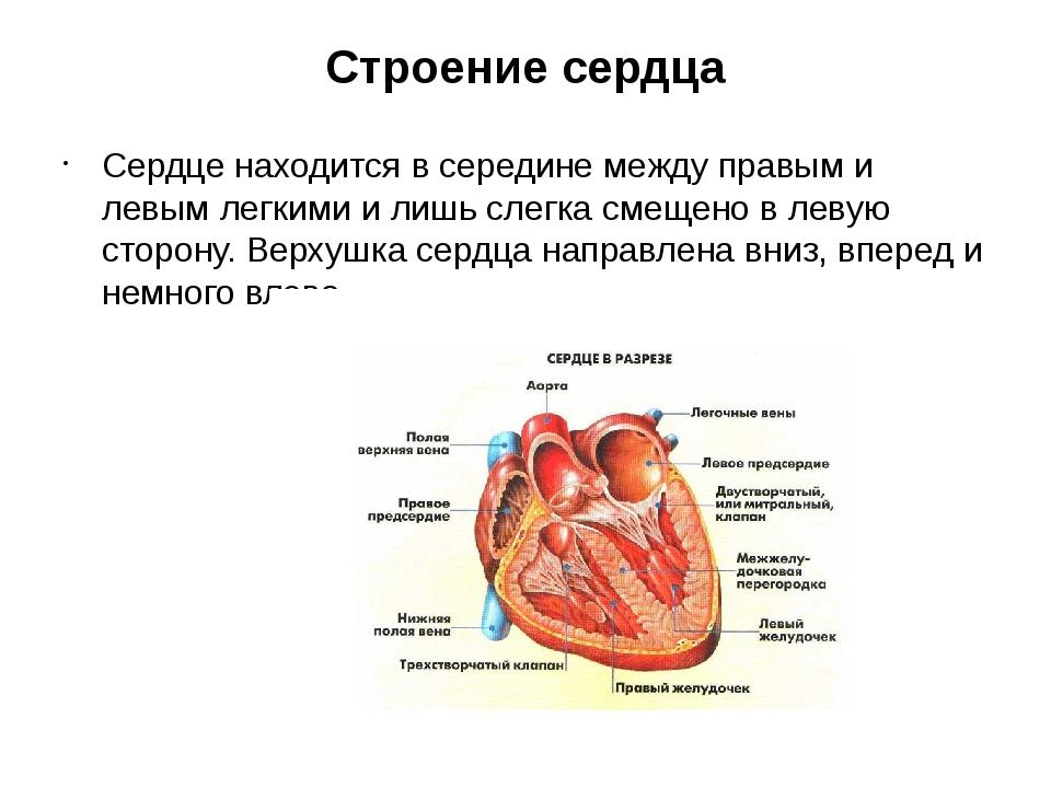 Строение сердца Сердце находится в середине между правым и левым легкими и ли...