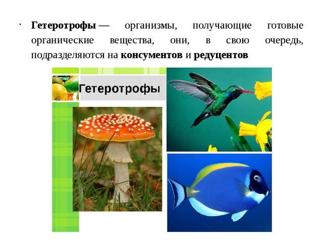Гетеротрофы— организмы, получающие готовые органические вещества, они, в сво...