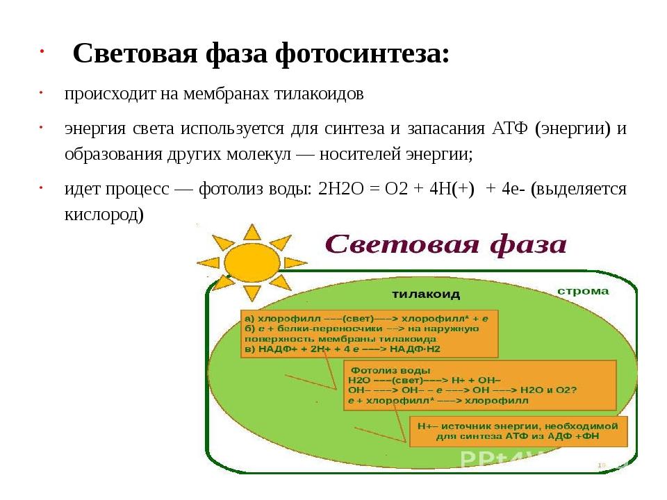 Световая фаза фотосинтеза: происходит на мембранах тилакоидов энергия света...