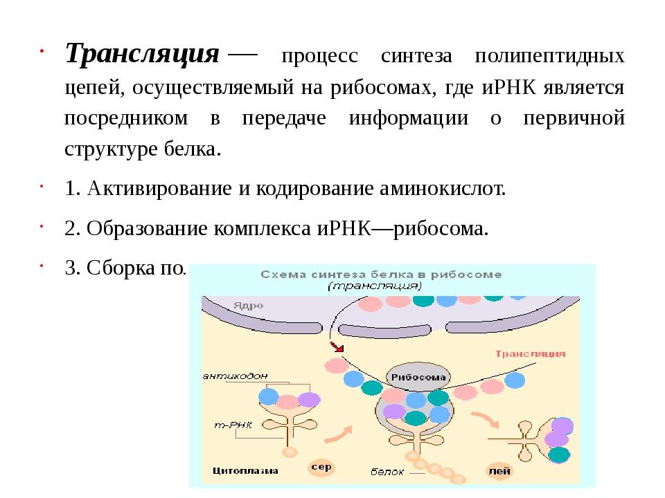 Трансляция— процесс синтеза полипептидных цепей, осуществляемый на рибосомах...
