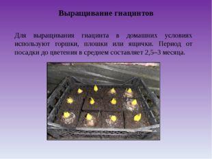 Выращивание гиацинтов Для выращивания гиацинта в домашних условиях используют
