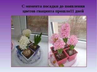 С момента посадки до появления цветов гиацинта прошло11 дней