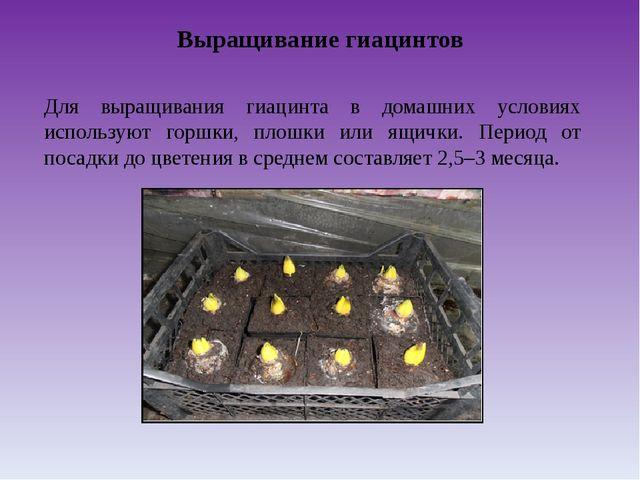 Выращивание гиацинтов Для выращивания гиацинта в домашних условиях используют...