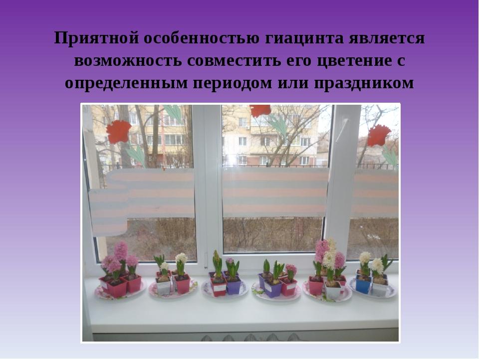 Приятной особенностью гиацинта является возможность совместить его цветение с...