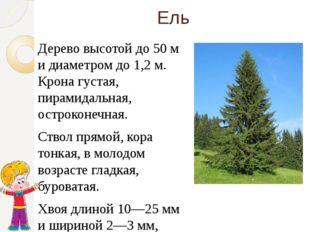 Ель Дерево высотой до 50 м и диаметром до 1,2 м. Крона густая, пирамидальная,