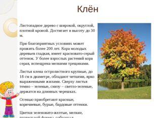 Клён Листопадное дерево с широкой, округлой, плотной кроной. Достигает в высо