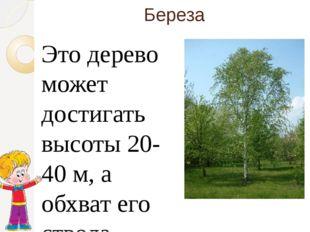 Береза Это дерево может достигать высоты 20-40 м, а обхват его ствола — 100—1