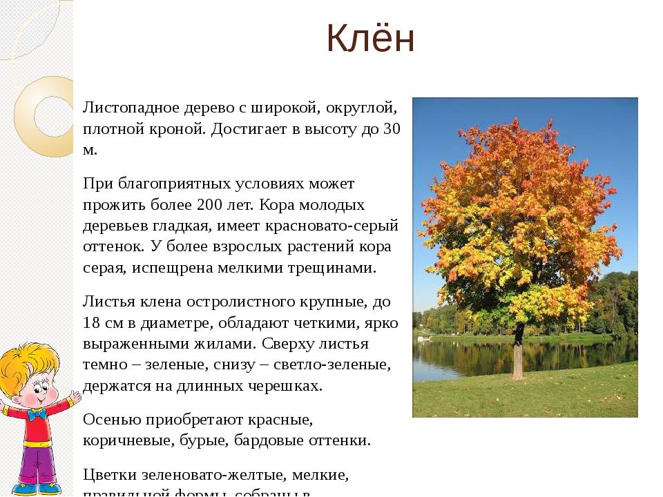 Клён Листопадное дерево с широкой, округлой, плотной кроной. Достигает в высо...