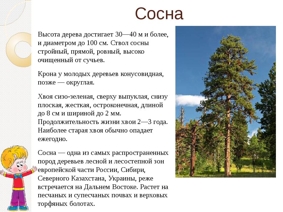 Сосна Высота дерева достигает 30—40 м и более, и диаметром до 100 см. Ствол с...