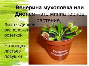 Венерина мухоловка или Дионея—это миниатюрное растение. Листья Дионеи располо