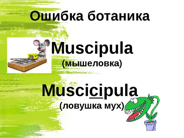 Ошибка ботаника Muscipula (мышеловка) Мuscicipula (ловушка мух)