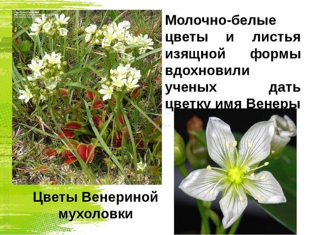 Молочно-белые цветы и листья изящной формы вдохновили ученых дать цветку имя...
