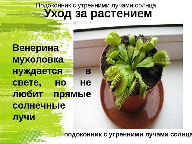 Уход за растением Венерина мухоловка нуждается в свете, но не любит прямые со...