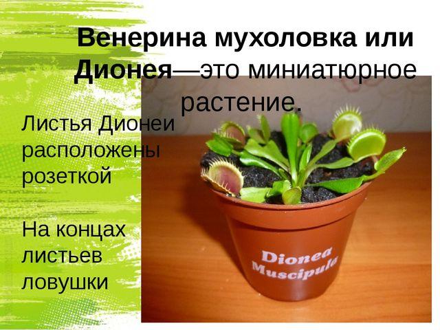 Венерина мухоловка или Дионея—это миниатюрное растение. Листья Дионеи располо...