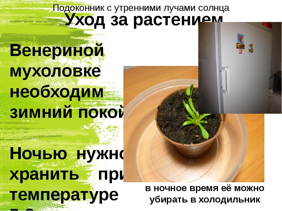 Уход за растением Венериной мухоловке необходим зимний покой Ночью нужно хран...