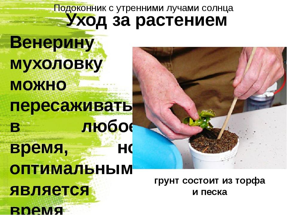 Уход за растением Венерину мухоловку можно пересаживать в любое время, но опт...