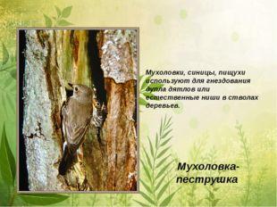 Мухоловка-пеструшка Мухоловки, синицы, пищухи используют для гнездования дупл