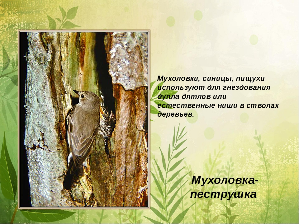Мухоловка-пеструшка Мухоловки, синицы, пищухи используют для гнездования дупл...
