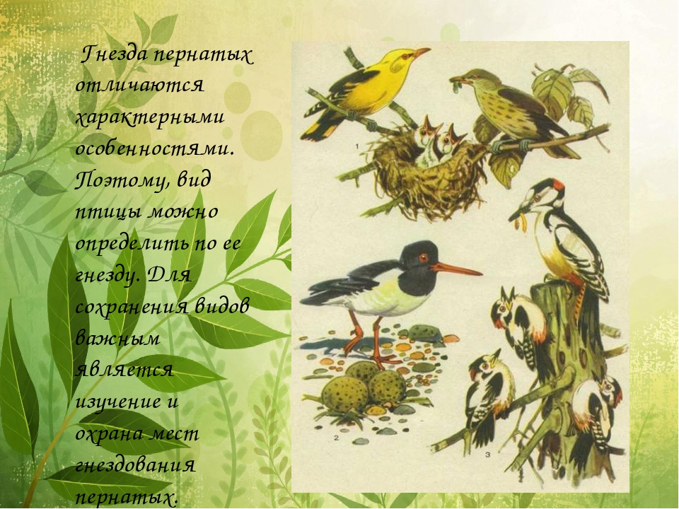 Гнезда пернатых отличаются характерными особенностями. Поэтому, вид птицы мо...