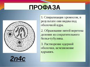 ПРОФАЗА 1. Спирализация хромосом, в результате они видны под оболочкой ядра.