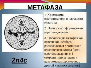 1. Хромосомы выстраиваются в плоскости экватора. 2. Полностью сформировано ве