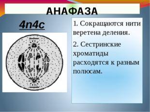 АНАФАЗА 1. Сокращаются нити веретена деления. 2. Сестринские хроматиды расход