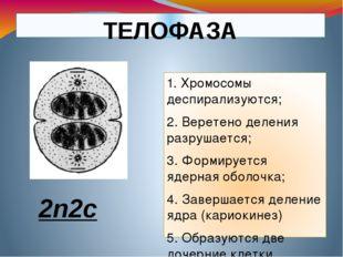ТЕЛОФАЗА 1. Хромосомы деспирализуются; 2. Веретено деления разрушается; 3. Фо
