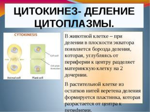 ЦИТОКИНЕЗ- ДЕЛЕНИЕ ЦИТОПЛАЗМЫ. В животной клетке – при делении в плоскости эк