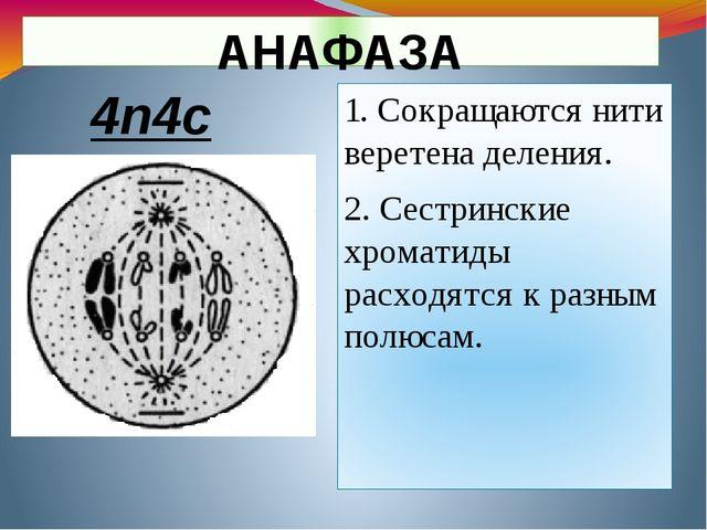 АНАФАЗА 1. Сокращаются нити веретена деления. 2. Сестринские хроматиды расход...