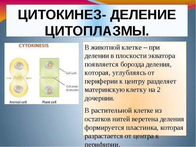 ЦИТОКИНЕЗ- ДЕЛЕНИЕ ЦИТОПЛАЗМЫ. В животной клетке – при делении в плоскости эк...