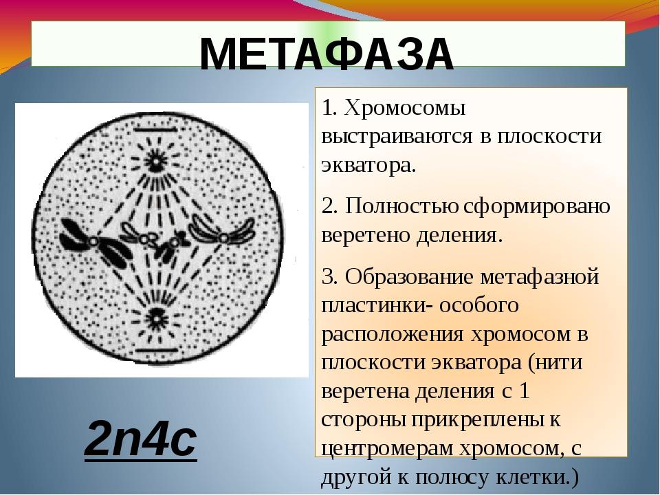 1. Хромосомы выстраиваются в плоскости экватора. 2. Полностью сформировано ве...
