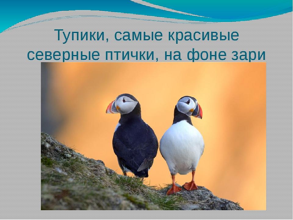 Тупики, самые красивые северные птички, на фоне зари
