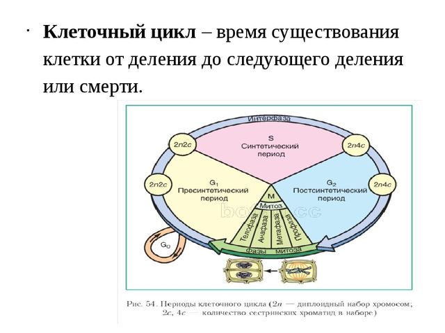 Клеточный цикл – время существования клетки от деления до следующего деления...
