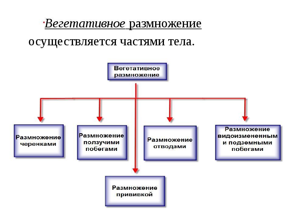 Вегетативноеразмножение осуществляется частями тела.