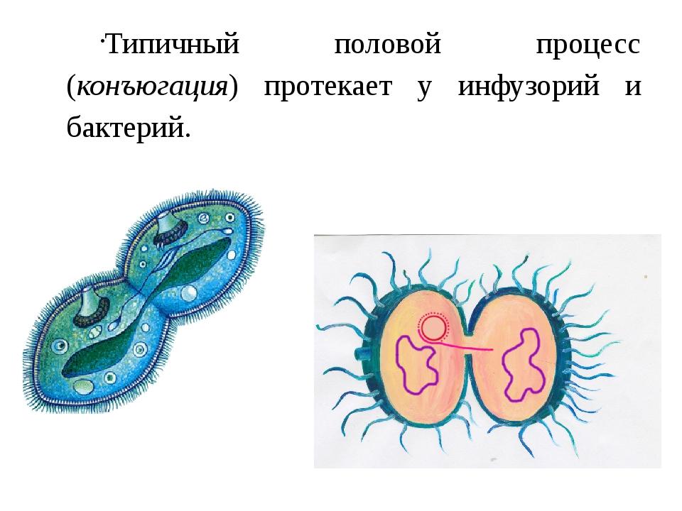 Типичный половой процесс (конъюгация) протекает у инфузорий и бактерий.