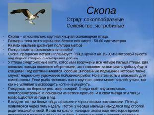 Скопа Отряд: соколообразные Семейство: ястребиные Скопа– относительно крупна