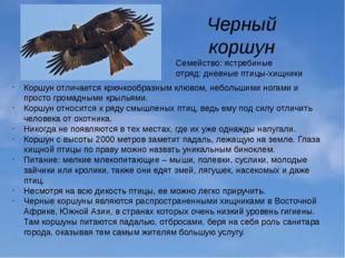Черный коршун Семейство: ястребиные отряд: дневные птицы-хищники Коршун отлич