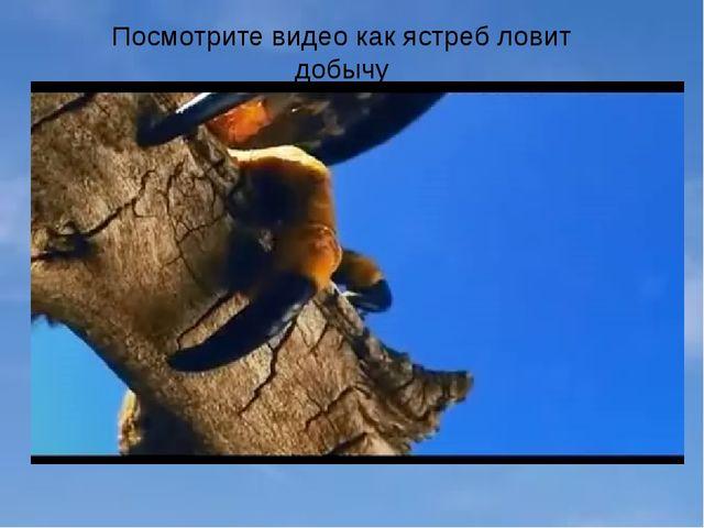 Посмотрите видео как ястреб ловит добычу