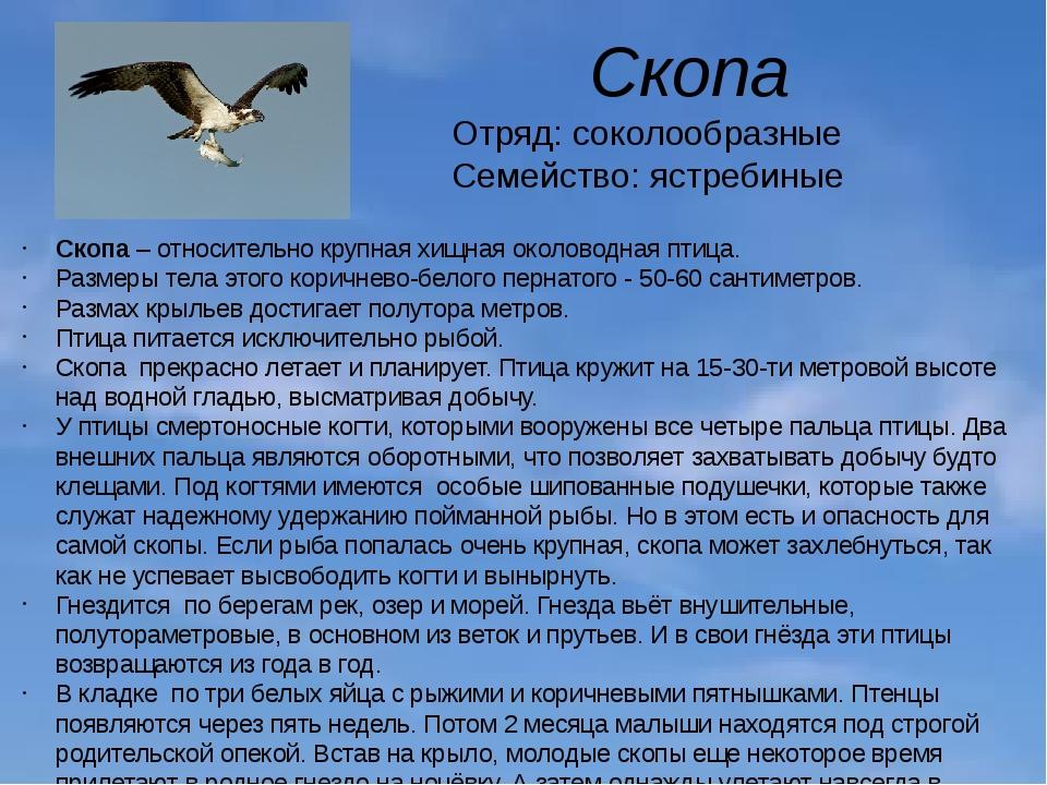 Скопа Отряд: соколообразные Семейство: ястребиные Скопа– относительно крупна...