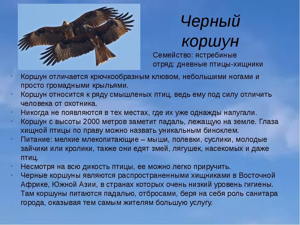 Черный коршун Семейство: ястребиные отряд: дневные птицы-хищники Коршун отлич...