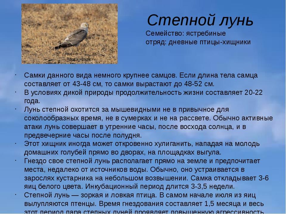Степной лунь Семейство: ястребиные отряд: дневные птицы-хищники Самки данного...