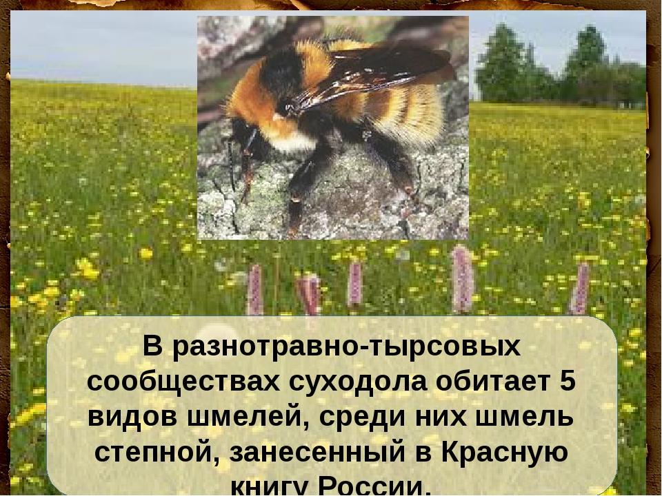 В разнотравно-тырсовых сообществах суходола обитает 5 видов шмелей, среди них...