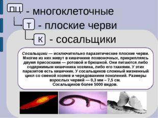 ПЦ - многоклеточные Т - плоские черви К - сосальщики Сосальщики — исключител