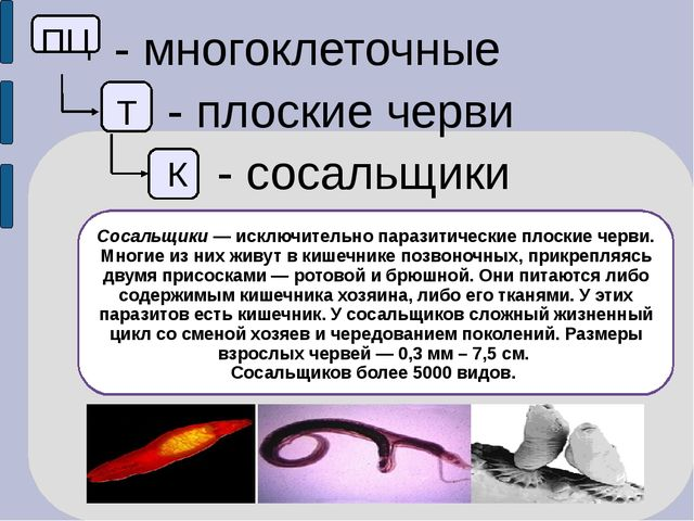 ПЦ - многоклеточные Т - плоские черви К - сосальщики Сосальщики — исключител...