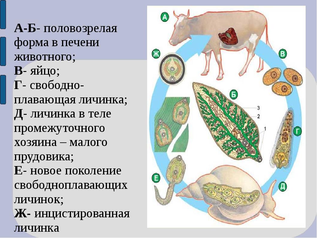 А-Б- половозрелая форма в печени животного; В- яйцо; Г- свободно-плавающая ли...
