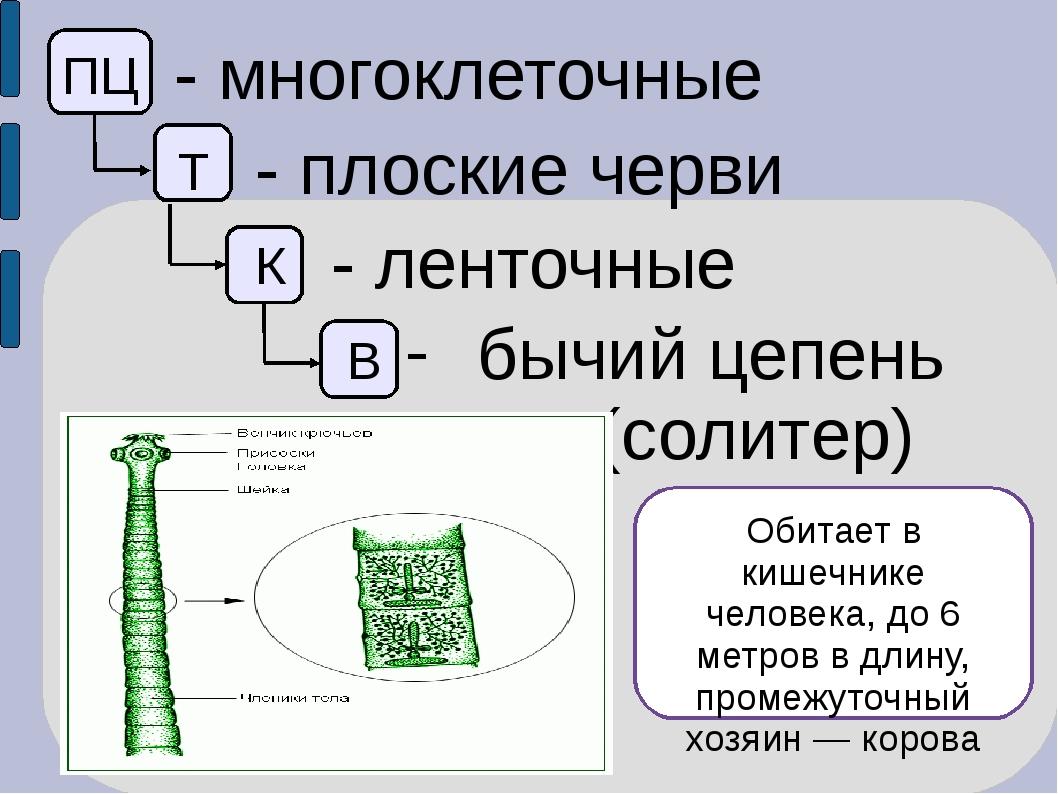 ПЦ - многоклеточные Т - плоские черви К - ленточные В бычий цепень (солитер)...
