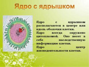 Ядро с ядрышком располагаются в центре или вдоль оболочки клетки. Ядро всегда